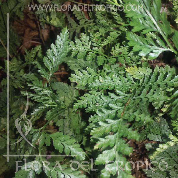 Helecho Davallia tyermanii comprar - Flora del tropico Tienda