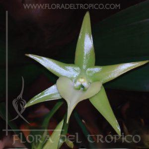 Orquidea Angraecum veitchii comprar - Flora del tropico Tienda