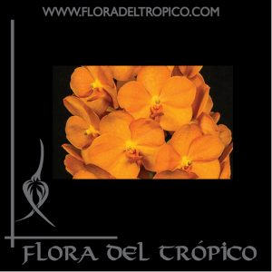 Orquidea Ascocenda suksamran comprar - Flora del Tropico Tienda