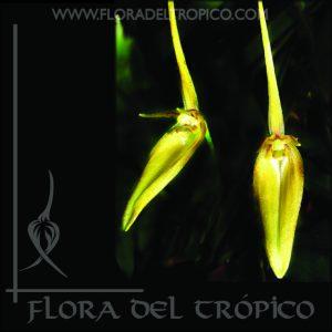 Orquidea Barbosella Cucullata Comprar - Tienda Flora del Tropico