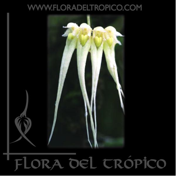 Orquidea Bulbophyllum sanguineopunctatum alba comprar - Flora del tropico Tienda-01