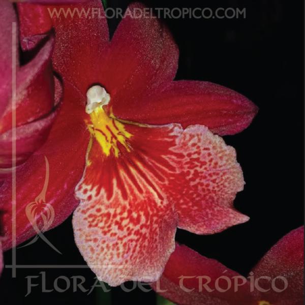 Orquidea Burrageara nelly isler comprar - Flora del Tropico Tienda-