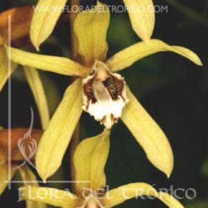 Orquidea Coelogyne pulverula comprar - Flora del Tropico Tienda