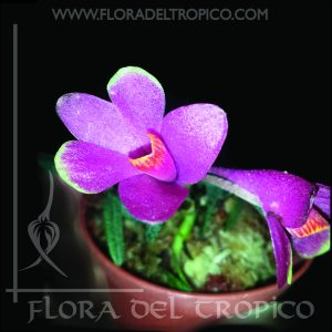 Orquidea Dendrobium Cuthbersonii Tricolor comprar - Flora del Tropico Tienda