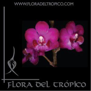 Orquidea Doritis pulcherrima Comprar - Tienda Flora del Tropico-