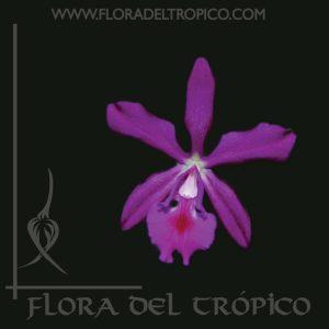 Orquidea Epicattleya plicaboa dancing queen comprar - flora del tropico tienda