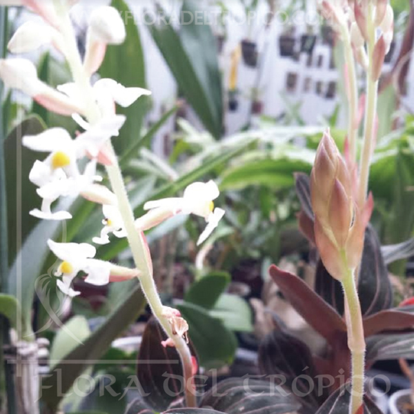 Orquidea Ludisia discolor 2 comprar - Flora del tropico Tienda-