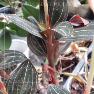Orquidea Ludisia discolor comprar - flora del tropico tienda-
