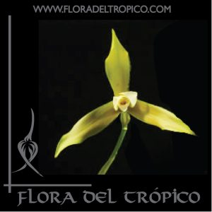 Orquidea Lycaste schilleriana comprar - Flora del Tropico Tienda