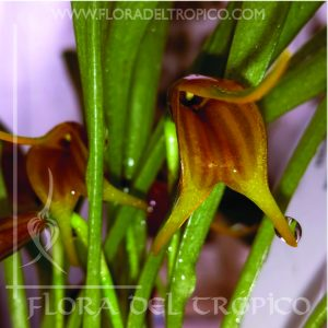 Orquidea Masdevallia Demissa comprar - Flora del tropico tienda