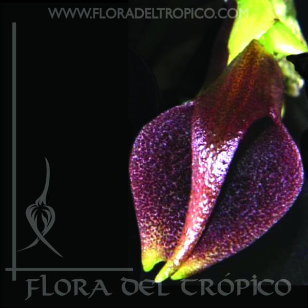Orquidea Masdevallia Lintricula comprar - Flora del Tropico Tienda