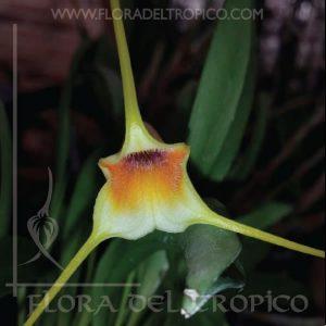 Orquidea Masdevallia Rex comprar - Flora del Tropico Tienda