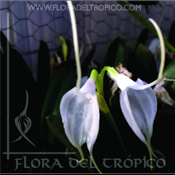 Orquidea Masdevallia Tovarensis comprar - Flora del Tropico Tienda