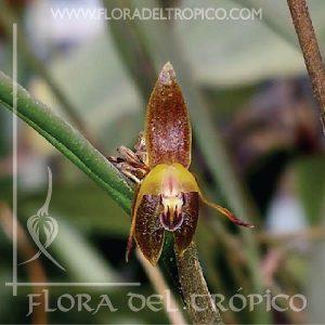 Orquidea Myoxanthus antennifer comprar - Flora del Tropico Tienda