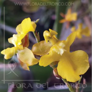 Orquidea-Oncidium-Kukko-comprar-Flora-del-Tropico-tienda