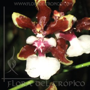 Orquidea Oncidium jungle monarch comprar - Flora del Tropico Tienda