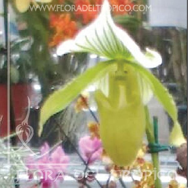 Orquidea Paphiopedilum maudiae comprar - Flora del Tropico Tienda
