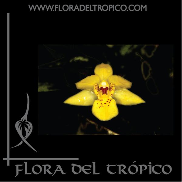 Orquidea Promenaea Xanthina comprar - Flora del Tropico Tienda