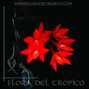 Orquidea Sophronitis Cernua comprar - Flora del Tropico Tienda