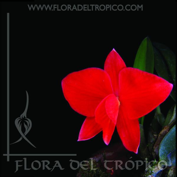 Orquidea Sophronitis brevipedunculata comprar - Flora del Tropico Tienda