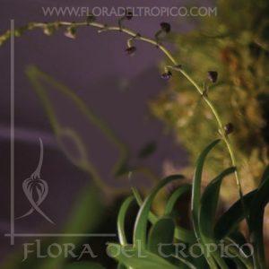 Orquidea Stelis muscifera Comprar - Tienda Flora del Tropico-