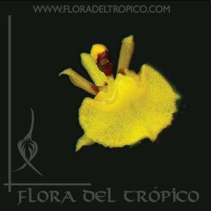Orquidea Sygmatostalix graminea comprar - Flora del Tropico Tienda-