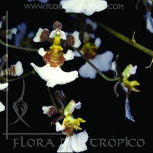 Orquidea Tolumnia Variegata Comprar - Tienda Flora del Tropico