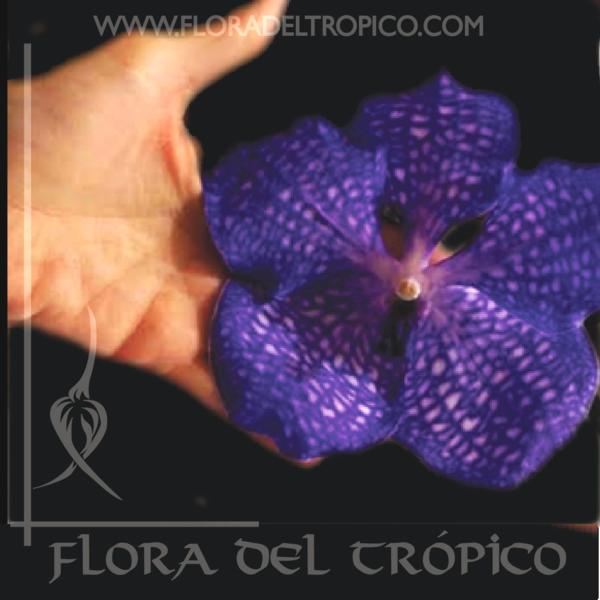 Orquidea Vanda coerulea Comprar - flora del tropico tienda