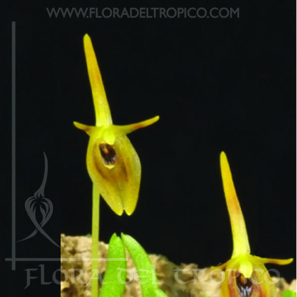 Orquidea barbosella prorepens comprar - Flora del Tropico Tienda