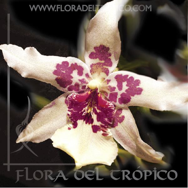 Orquidea beallara tahoma glacier comprar - Flora del Tropico Tienda-