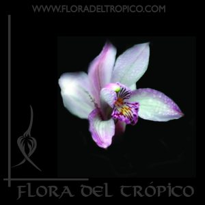 Orquidea cymbidium insigne comprar - Flora del tropico Tienda