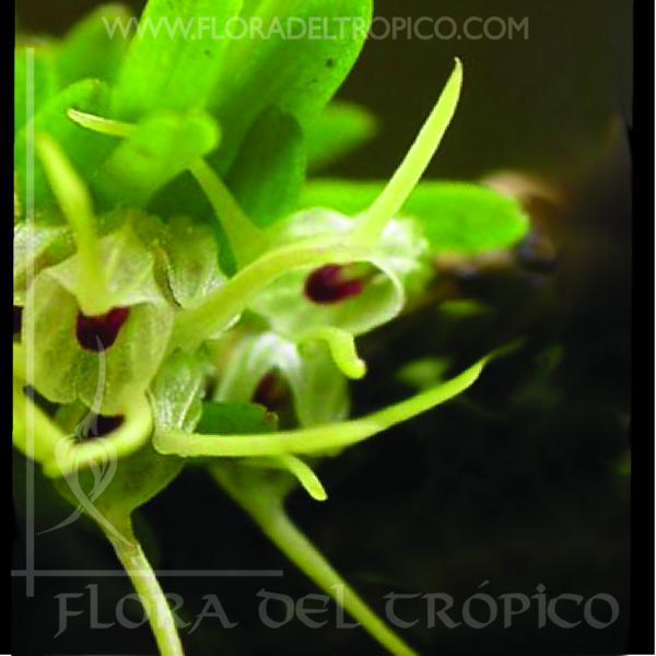 Orquidea diodonopsis pygmaea comprar - Flora del Tropico Tienda