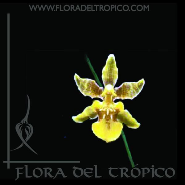 Orquidea oncidium ensatum comprar - flora del tropico tienda