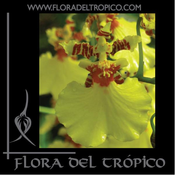 Orquidea oncidium sweet sugar Comprar - Flora del Tropico Tienda