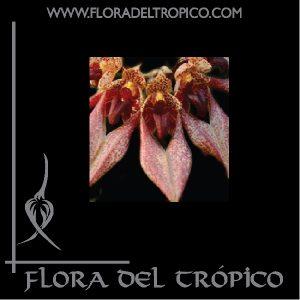 Orquidea Bulbophyllum annandalei comprar - Flora del tropico Tienda