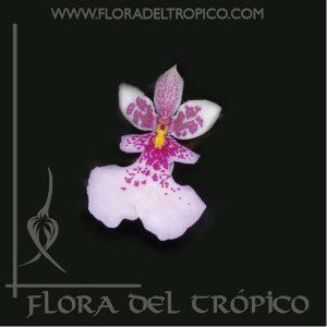 Orquidea caucaea phalaenopsis comprar - Flora del Tropico Tienda-