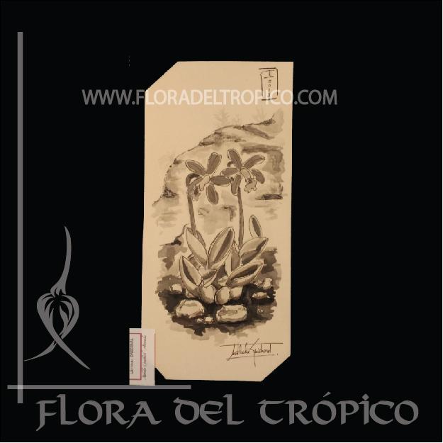 LOI 04 flora del tropico tienda deco orquideas - lamina aguada tinta - flora del trópico tienda de Orquídeas de colección