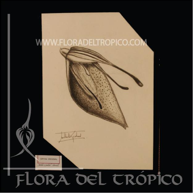 LOII 012 Flora del Tropico tienda deco orquideas - lamina Carboncillo- flora del trópico tienda de Orquídeas de colección