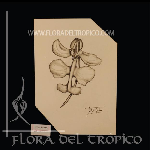 LOII 05 Flora del Tropico tienda deco orquideas - lamina Carboncillo- flora del trópico tienda de Orquídeas de colección