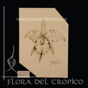 LOII 06 Flora del Tropico tienda deco orquideas - lamina Carboncillo- flora del trópico tienda de Orquídeas de colección