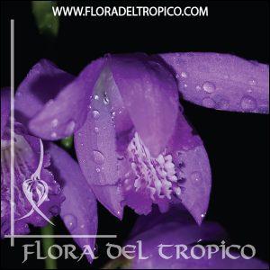 Orquidea Bletilla striata Comprar - Tienda Flora del Tropico
