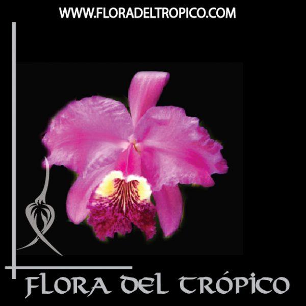 Orquidea Cattleya lueddemanniana comprar - Flora del Tropico Tienda-01