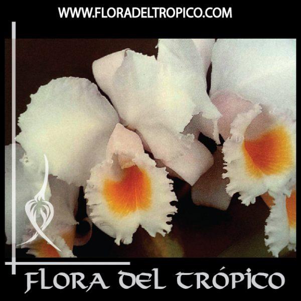 Orquidea Cattleya schroderae comprar - Flora del tropico Tienda