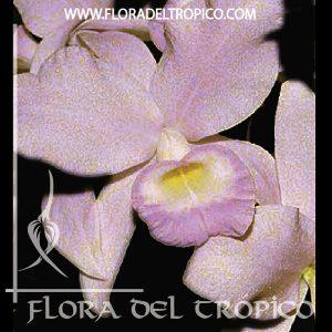 Orquidea Cattleya skinnerii semialba Comprar - Tienda Flora del Tropico