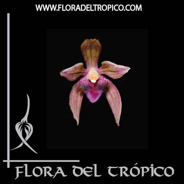 Orquidea Cymbidium devonianum comprar - Flora del tropico Tienda