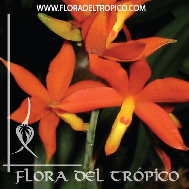 Orquidea Encyclia vitellina comprar - Flora del Tropico Tienda