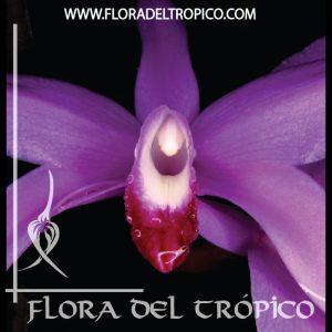Orquidea Laelia perrinii comprar - Flora del tropico Tienda
