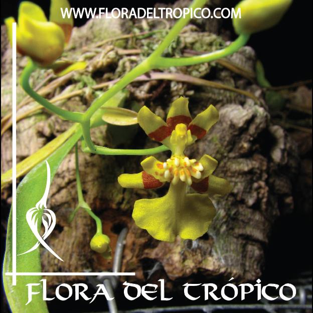 Orquidea Oncidium eurycline comprar - Flora del Tropico Tienda