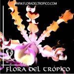 Orquidea Schomburgkia tibicinis Comprar - Tienda Flora del Tropico
