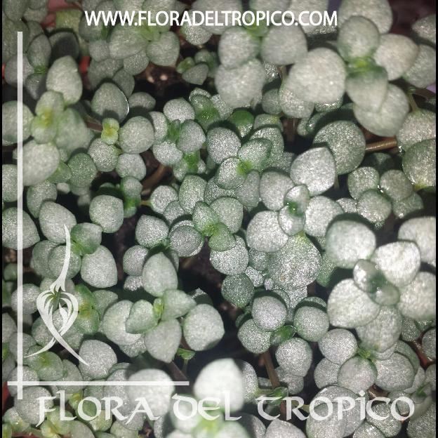 Pilea glauca comprar - Flora del Tropico Tienda